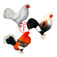 Exclusive fighting roosters for the collector from the Philippines
